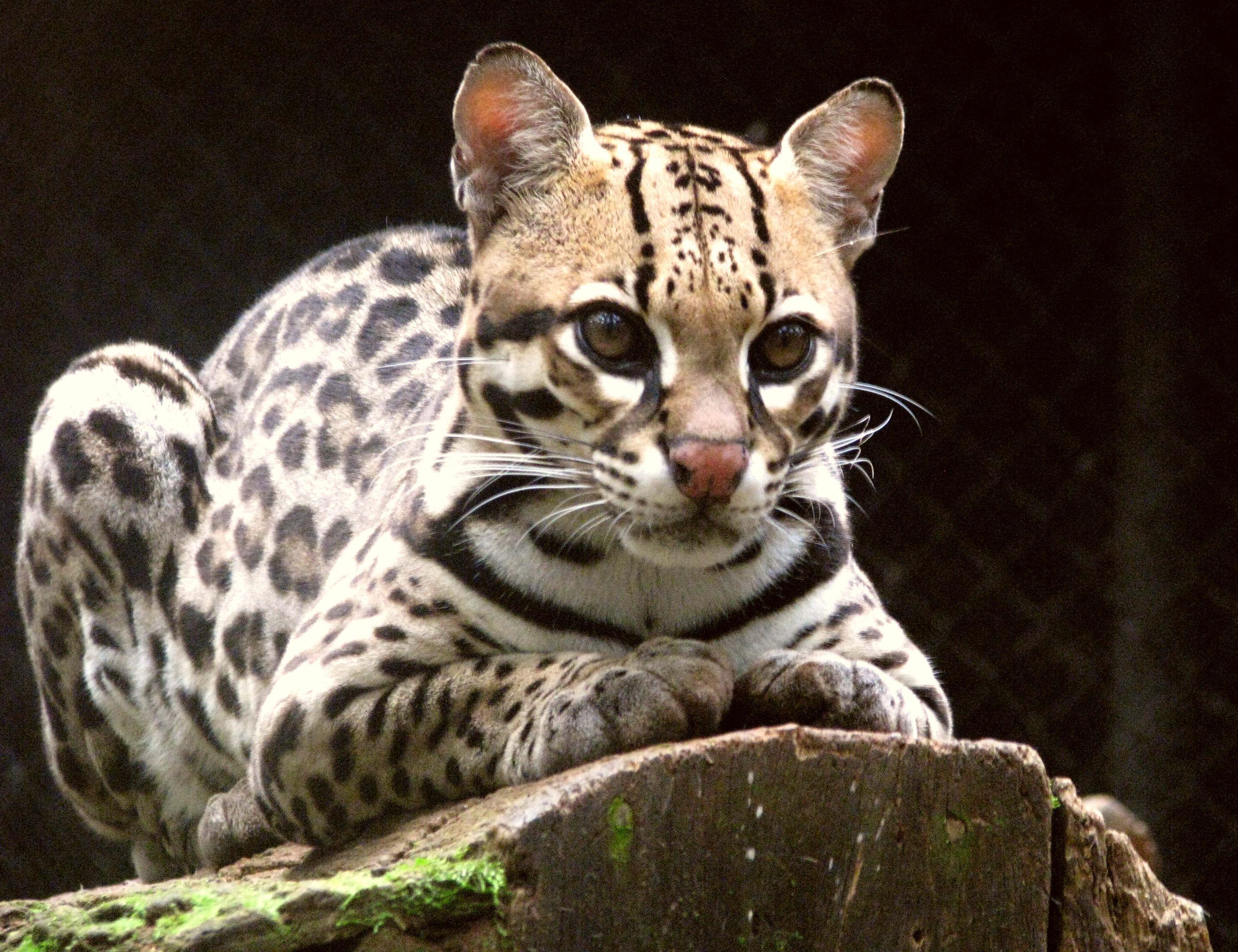 Leopardus_pardalis