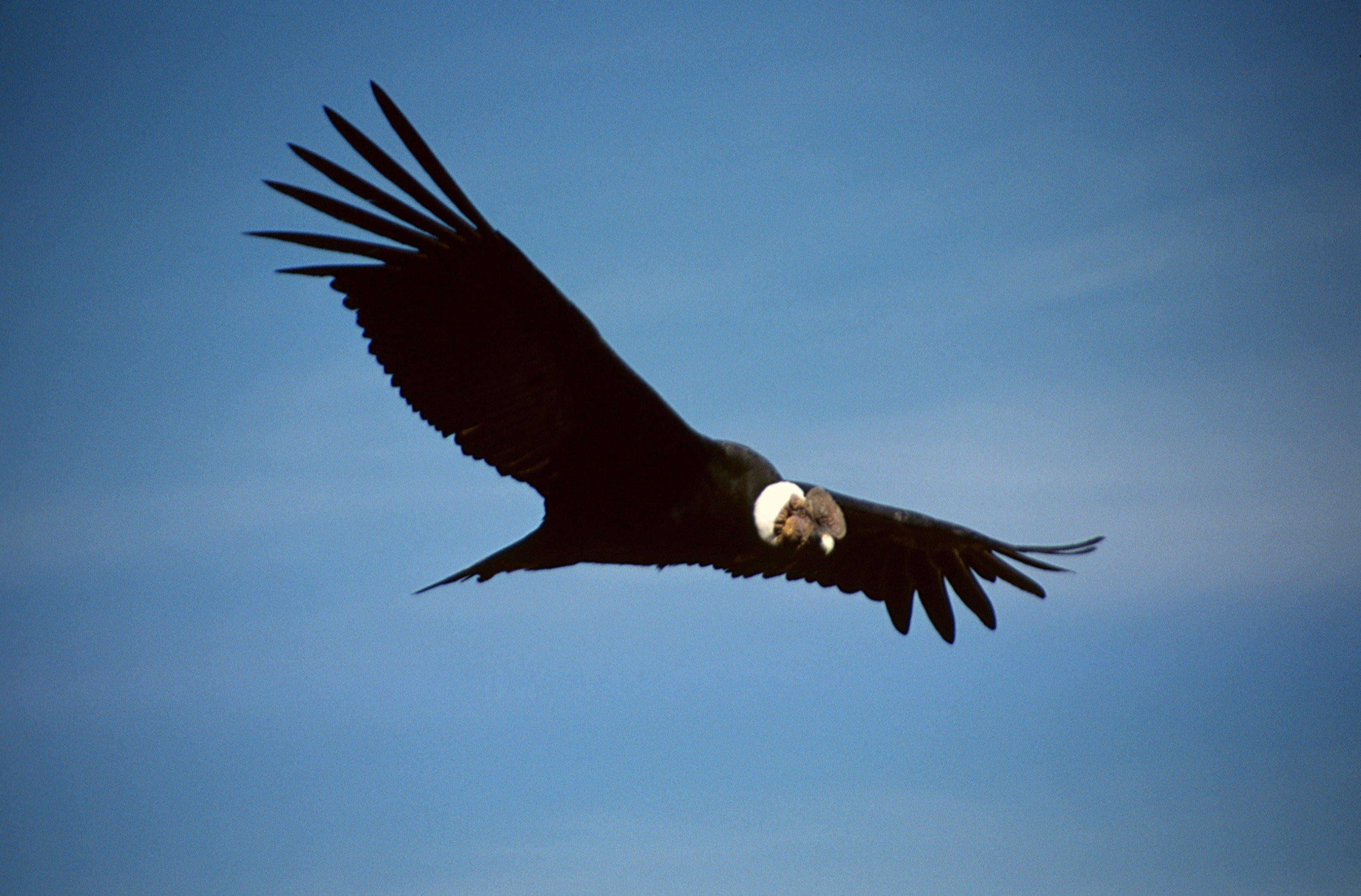 Cóndor Vultur gryphus
