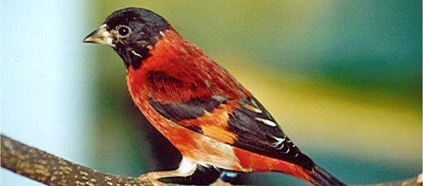 cardenalito (1)