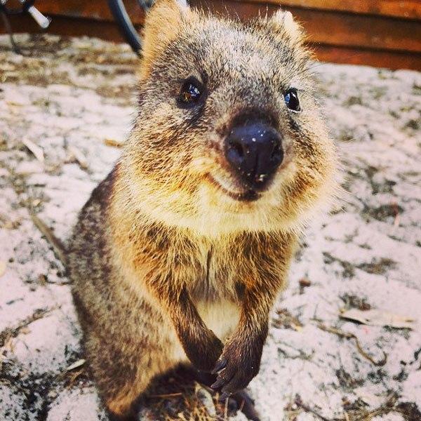 animalito selfie bebe quokka