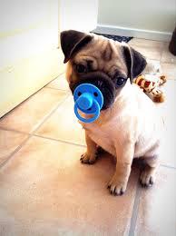 perro bebe chupon